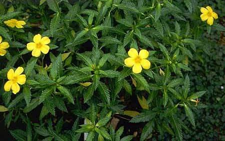 planta damiana